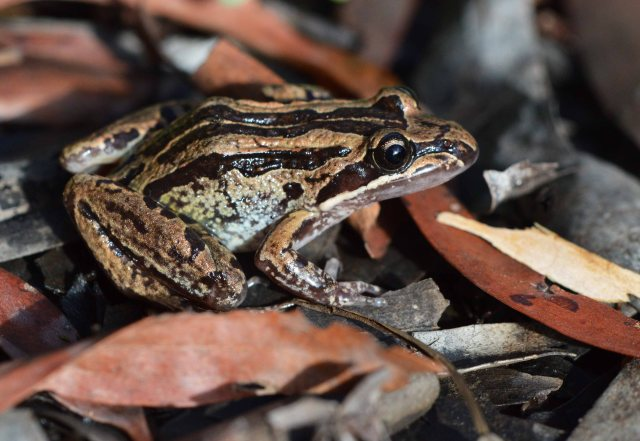 Striped Marsh Frog Limnodynastes peronii. Cairns. . Photo: David Clode.
