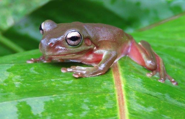 Litoria caerulea, Green Tree Frog. Photo: David Clode.