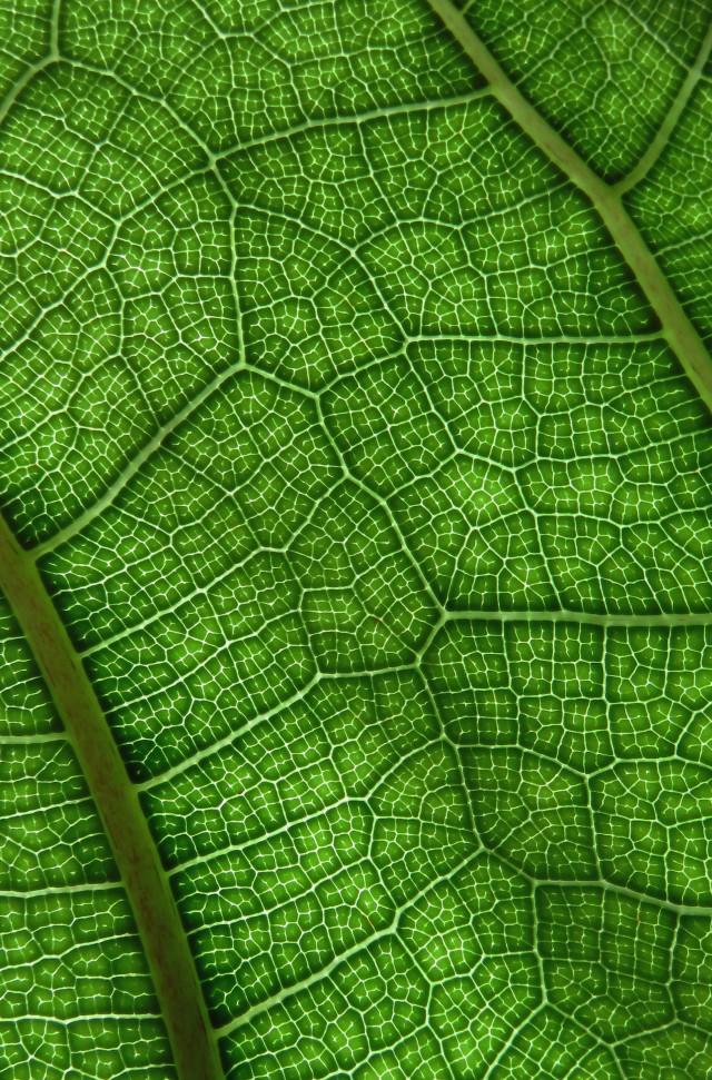 Ficus lyrata leaf veins.