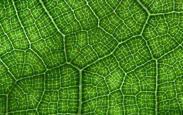 Fiddle leaf fig leaf veins.