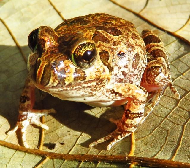 Ornate Burrowing frog Limnodynastes ornatus. cairns. Photo: David Clode.