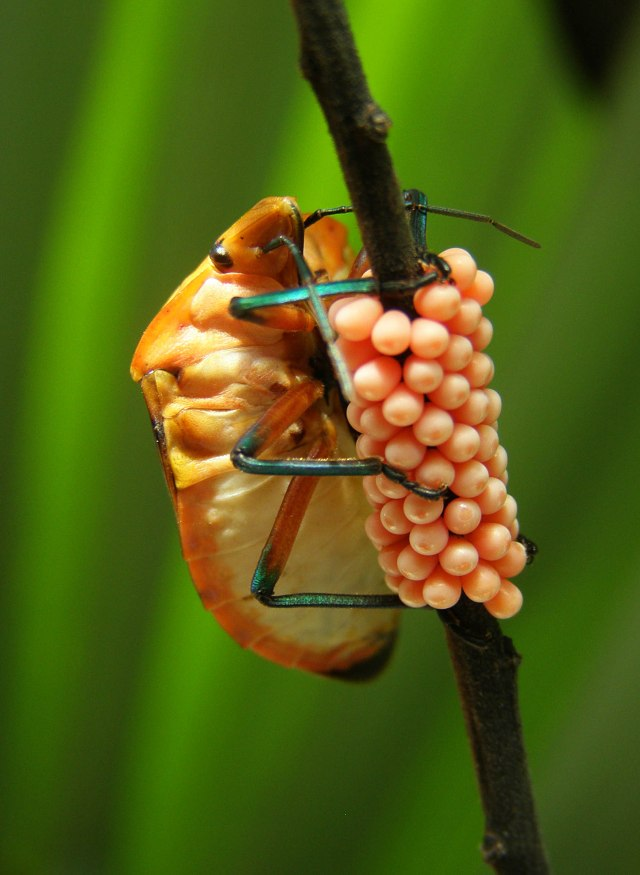 Bug with eggs. Photo: David Clode.