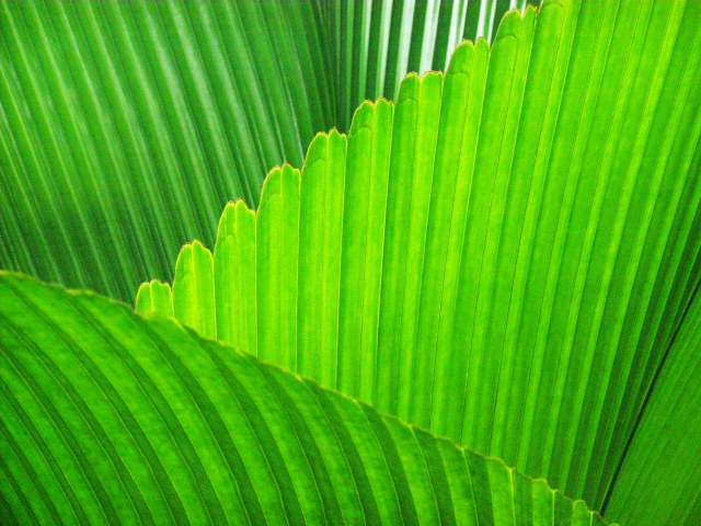 Palm leaves Johannesteijsmannia altifrons. Photo: David Clode.