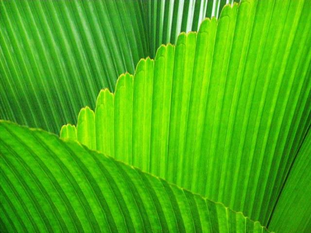 Palm leaves Johannesteijsmannia altifrons. Photo: David Clode.