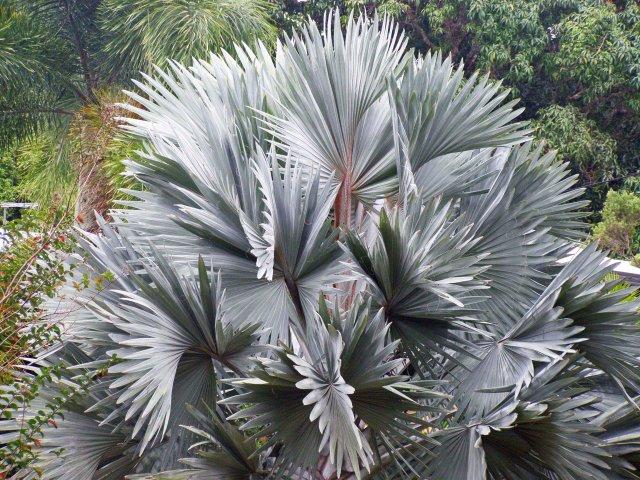 Bismarck Palm Bismarckia nobilis. Photo: David Clode.