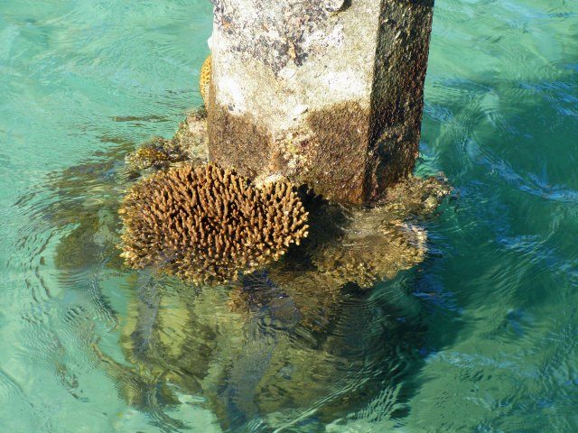 Natural regeneration of coral on a concrete pylon, Green Island. Photo: David Clode.