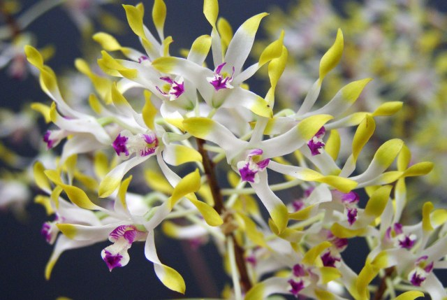 Dendrobium canaliculatum Tea tree orchid. Photo: David Clode.