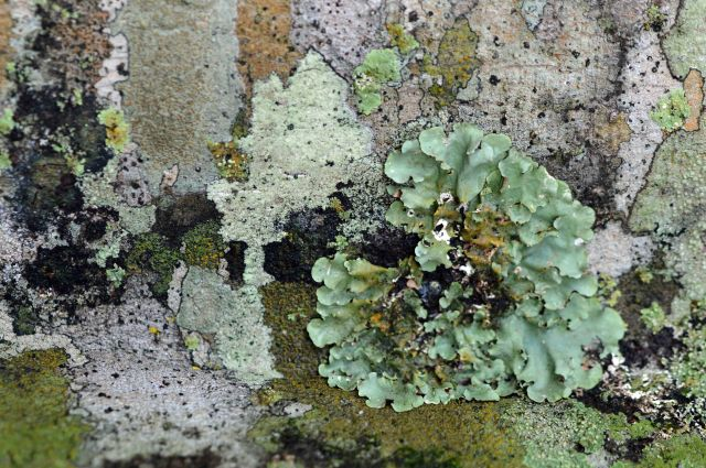 The presence of a wide diversity of lichens is often an indication of an unpolluted atmosphere. growing on a tree trunk in Kuranda, Australia. Photo: David Clode.