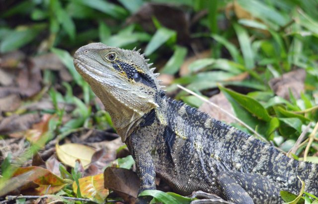 Eastern Water Dragon. Photo taken at Kuranda, David clode.