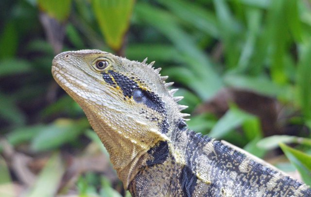 Eastern water Dragon. Photo: David Clode.