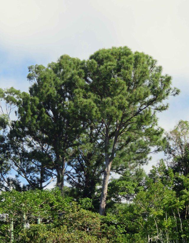 Caribbean pine.