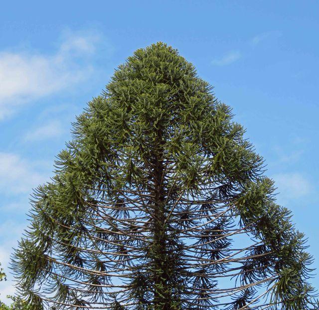 Bunya pine.
