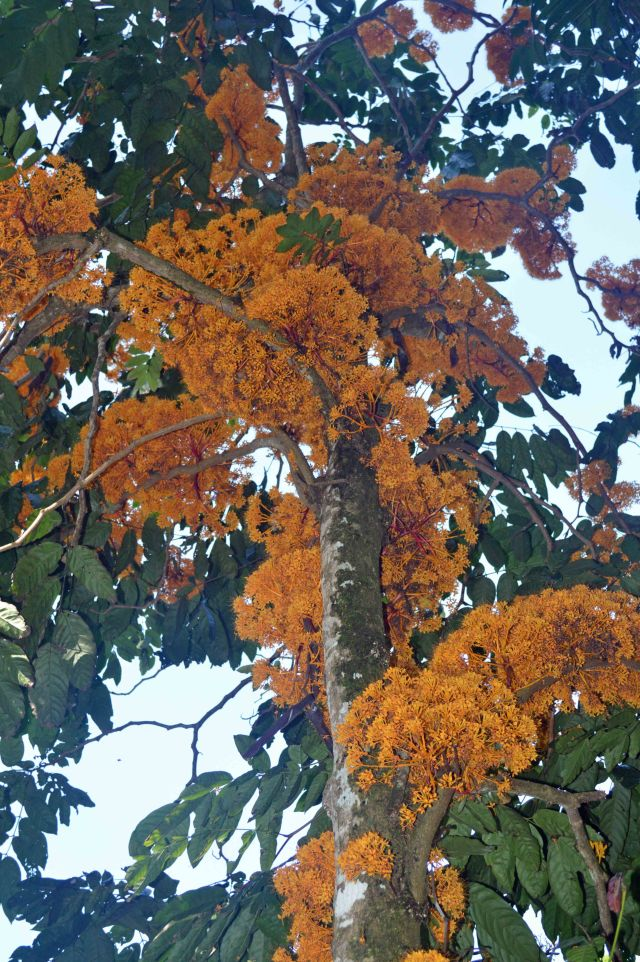 Saraca thaipingensis, flowering directly out of the trunk and branches (cauliflory and ranmiflory). Cairns Botanic Gardens. Photo: David Clode.