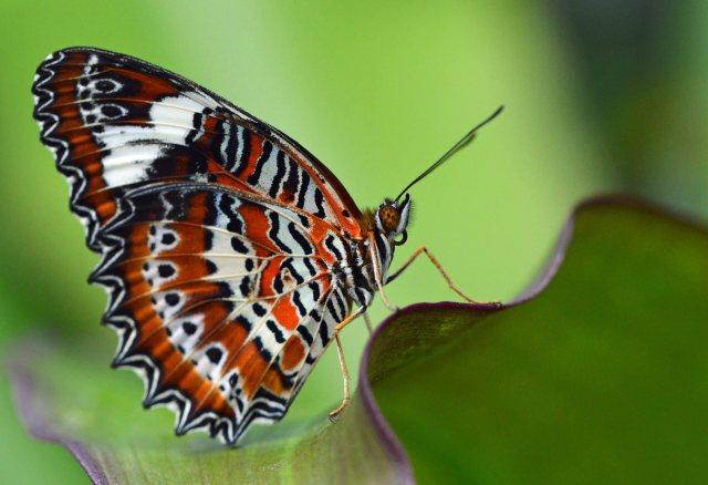 Orange Lacewing. Photo: David Clode.