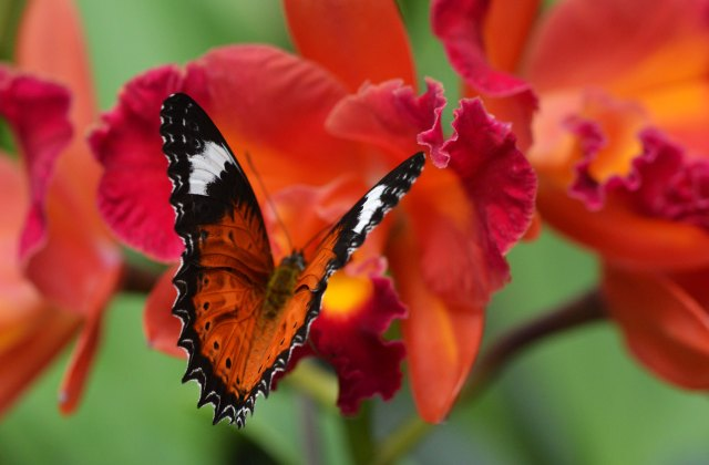 Orange Lacewing on Cattleya orchid. Photo: David Clode.