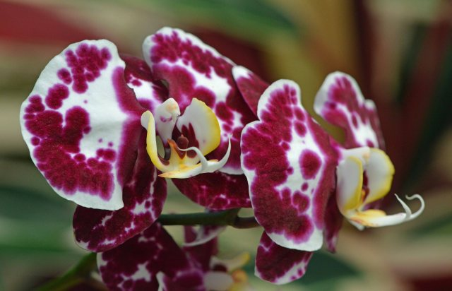 Phalaenopsis 'Thani's pick'. Cairns Botanic Gardens Conservatory. Photo: David Clode.