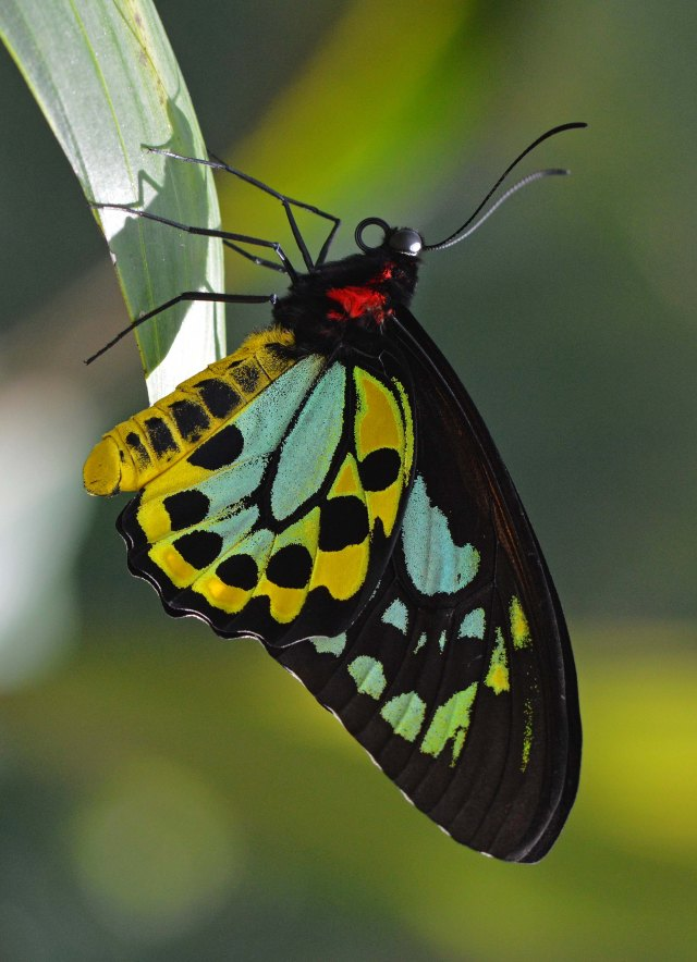 Male Cairns Birdwing butterfly Ornithoptera priamus. Conservatory. Photo: david Clode.