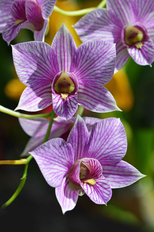 Dendrobium orchid. Ciarns Bot gardens Conservatory. Photo: David Clode.