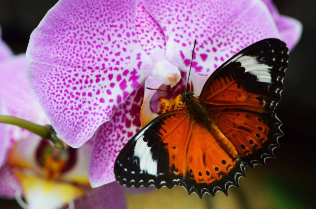 Orange lacewing Butterfly Cethosia penthesilea visiting a Phalaenopsis orchid. Cairns Botanic Gardens Conservatory. Photo: David Clode.. Conservatory. Photo: David Clode.