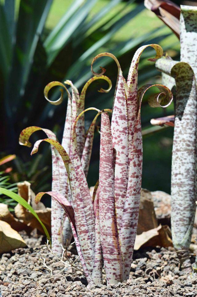 The unusual bromeliad, Quesnelia marmorata cv 'Tim Plowman'. Photo Cairns botanic gardens, David Clode.