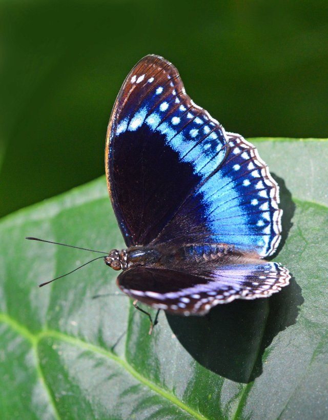 Blue-banded Eggfly Hypolimnas alimena. Conservatory. Photo: David Clode.
