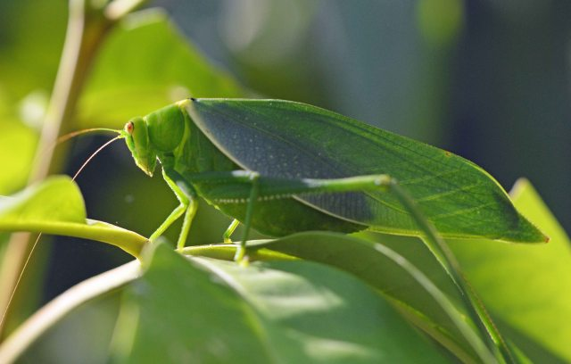 Leafy Katydid Paracaedicia serrata. Photo: David Clode.