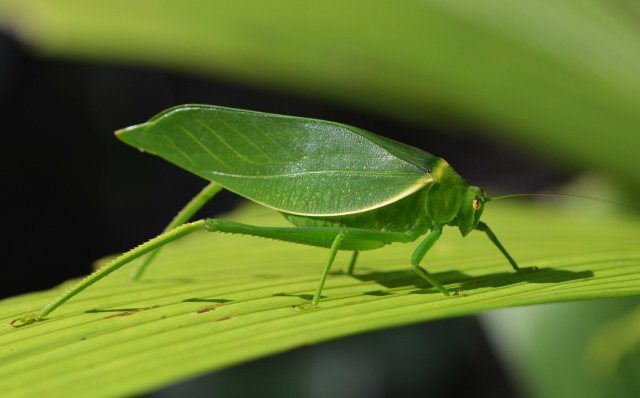 Leafy Katydid. Photo: David Clode.