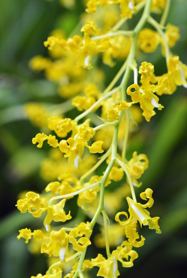 Yellow hybrid dendrobium Orchid. Conservatory cairns Botanic Gardens. Photo: David Clode.