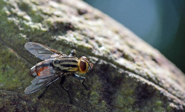 Flesh fly visiting the unpleasant smelling Snakeskin Lily Dracontium gigas. Cairns Botanic Gardens. Photo: David Clode.