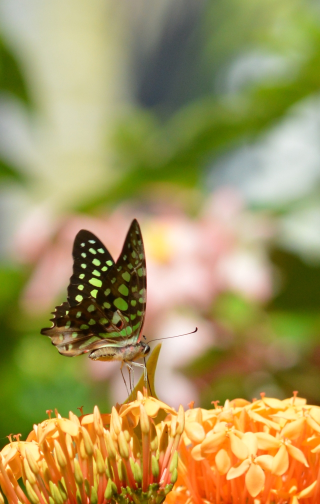 Green-spotted Triangle Graphium Agamemnon. cairns Botanic gardens, wild, outdoors. Photo: David Clode.
