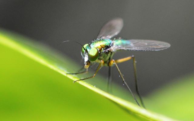 Dolichopodid Fly.