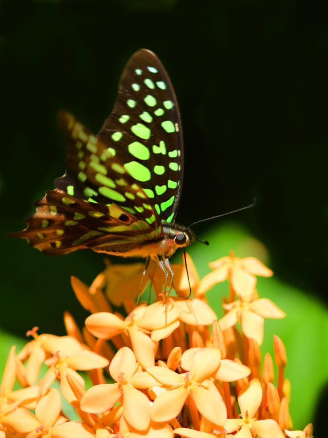 Green-spotted Triangle. Photo: David Clode.