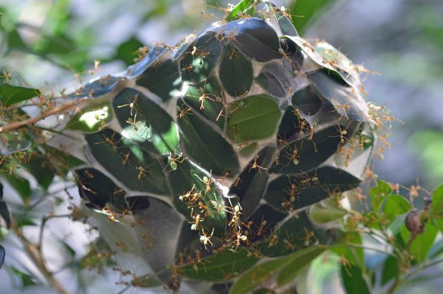 Green ant nest. The full name of these ants is the green leaf-weaving ant. Cairns. Photo: David Clode.