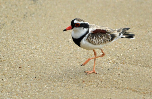 Black-fonted Dotterel. Cairns Esplanade mud flats. Photo: David Clode.