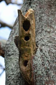 This hollow branch stub has been chewed on by parrots, presumably trying to make a suitable nesting site. Cairns. Photo: David Clode.