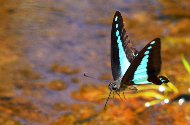 Blue Triangle Butterfly flying. Graphium sarpedon. cairns central swamp. Photo: David Clode.