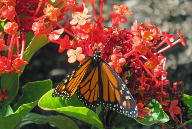 Wanderer or Monarch Butterfly Danaus plexippus. Conservatory. Photo: David Clode.