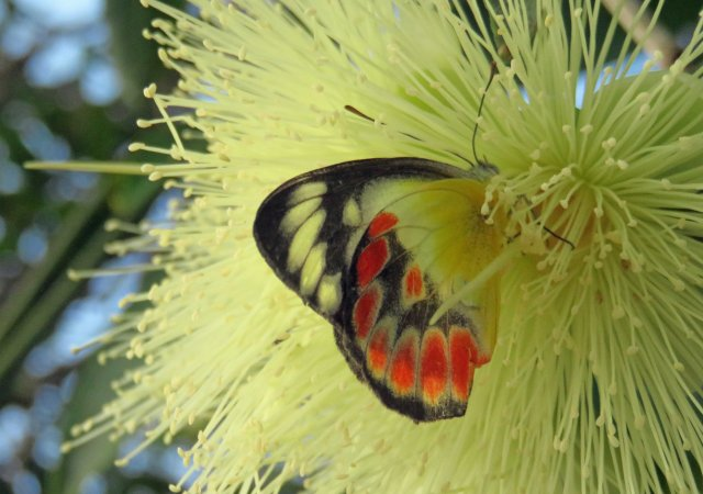 Northern Jezebel, deep inside a Syzigium malaccense flower. Cairns cemetery. Photo: David Clode.