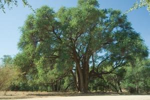Fabulous Faidherbia albida tree. Photo: www.prota4u.org.