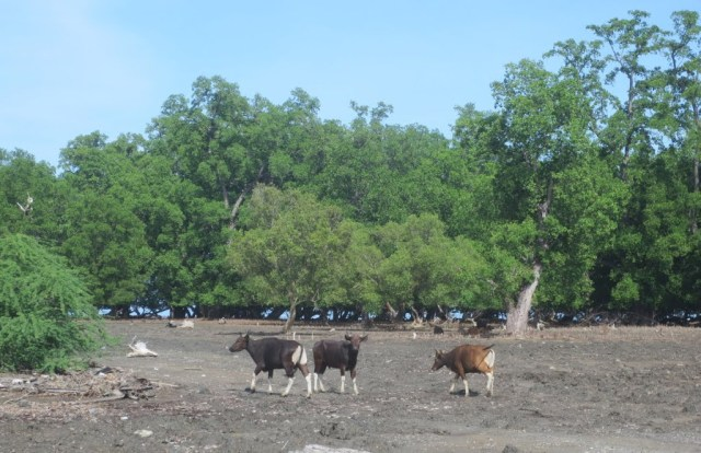 Bali cattle - the trees in the background have clearly been browsed as high as possible. Photo: Colin Trainor. Wikimedia.