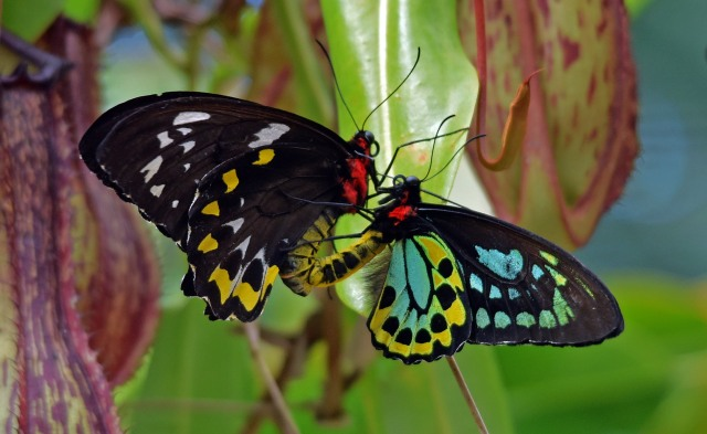Mating Cairns Birdwing butterflies. Photo: David Clode.