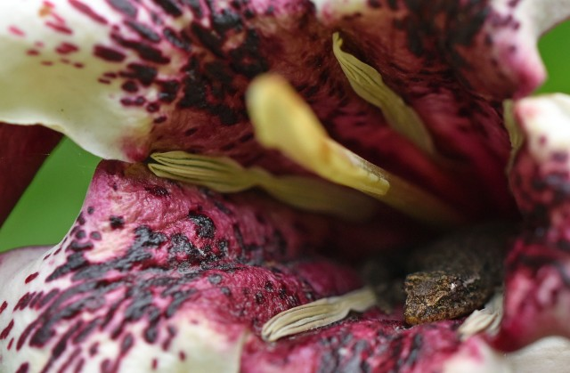 A gecko has found a home inside a Rothmannia flower. Photo: David Clode.
