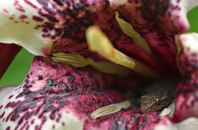 A gecko has found a home inside a Rothmannia flower. Photo: David Clode.