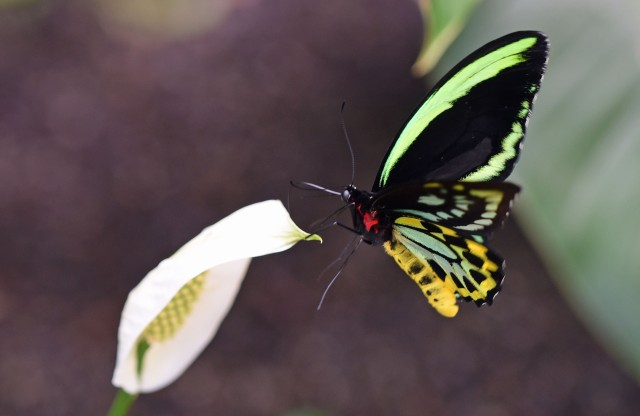 Cairns Birdwing and peace lily. Photo: David Clode.