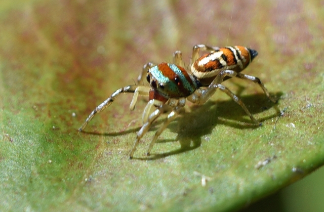 Cosmophasis species? On red Ixora leaf, Palm Royale hotel, Cairns. Photo: david Clode.