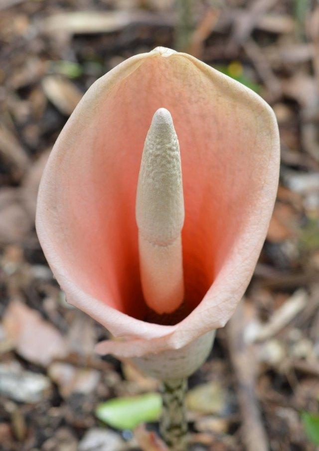 Aroid. cains Botanic Gardens. Photo: David Clode.