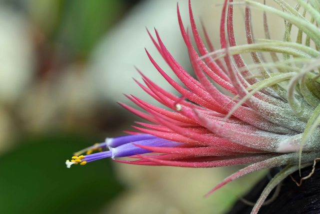 Tillandsia in flower. Cairns Botanic gardens.