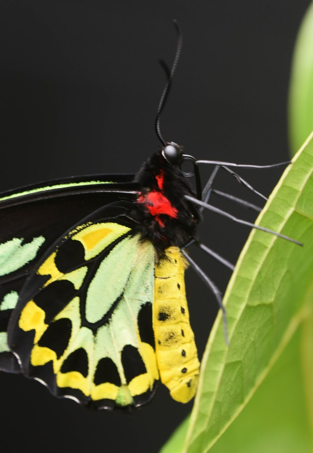 Cairns Birdwing. Photo: David Clode.