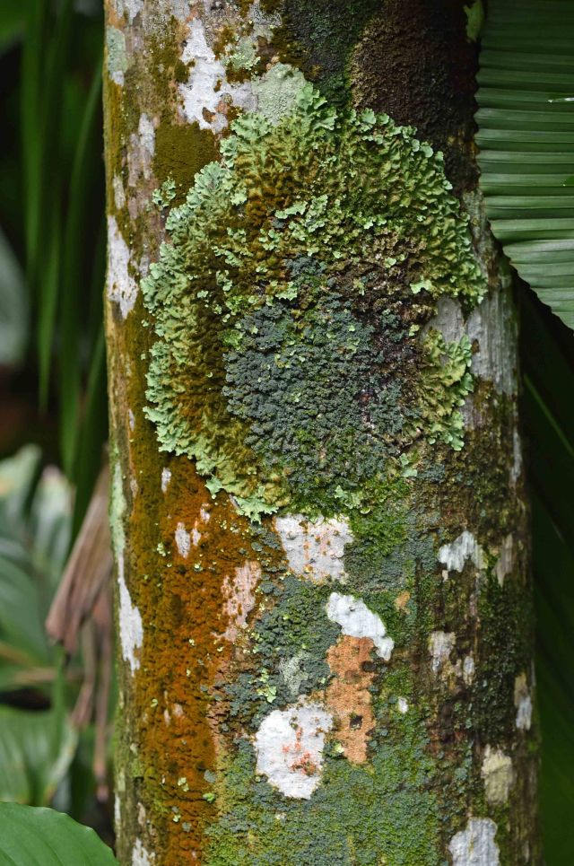 Lichens and mosses growing on a palm tree in cairns. Photo: David Clode.