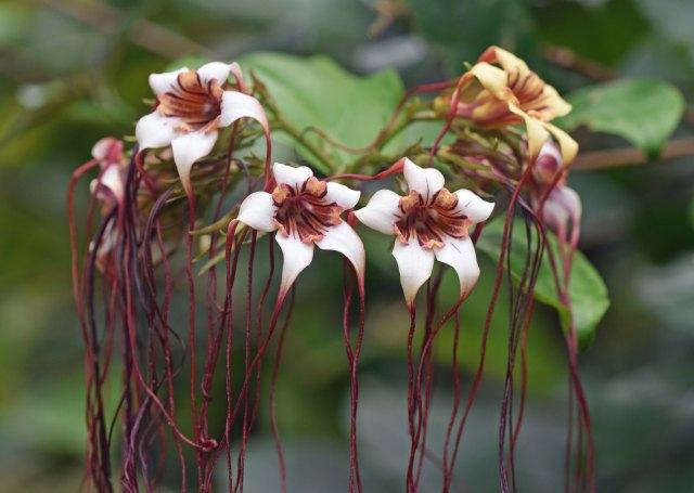 Strophanthus preussii close up. Photo: David Clode. Cairns Botanic Gardens.